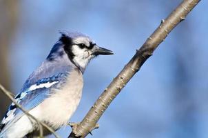 blå jay sätta sig i ett träd foto