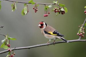 guldfink, carduelis foto