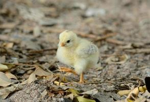 thailändsk kyckling foto