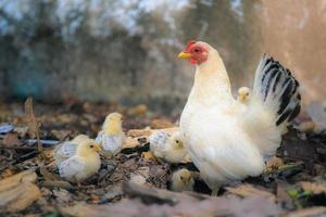 höna, kvinnlig kyckling foto