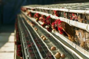 röda kycklingar foto