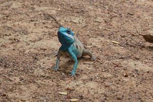 blå krönad ödla foto