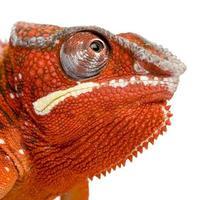 2 år gammal orange panter kameleon furcifer pardalis foto