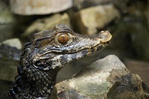 lilla alligator foto
