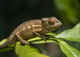 färgglad kameleont av madagaskar, mycket grunt fokus