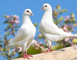 två vita duvor på blommande bakgrund foto