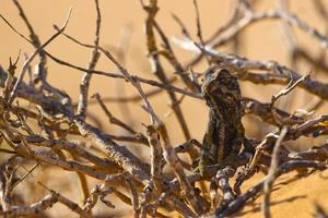 namaqua kameleont foto