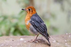 orange-huvud trast foto