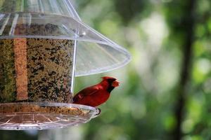 kardinal på mataren foto
