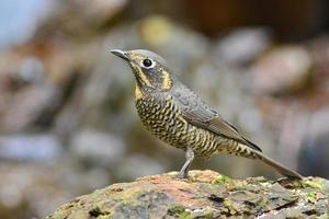 kastanj-buktad rock-thrush-fågel foto