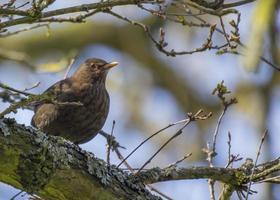 Blackbird (turdus merula) foto