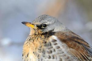 närbild porträtt av vintern fieldfare foto