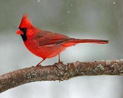 snö kardinal foto
