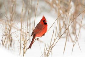 manlig nordlig kardinal foto