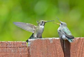 kolibri mamma och bebis foto