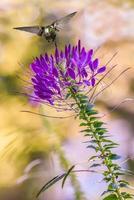 Annas kolibri som äter från lila blommor foto