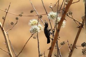kolibrier i Afrika foto