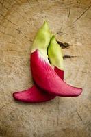 vegetabilisk brummande fågel sesban agasta foto