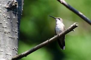rubinstrupen kolibri uppflugen i ett träd foto