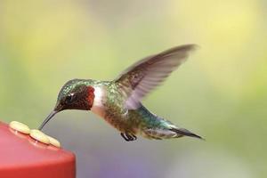 rubin-halsad kolibri på en matare foto