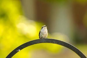 manlig rubin-halsad kolibri foto