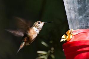 rufous kolibri som dricker från en matare foto