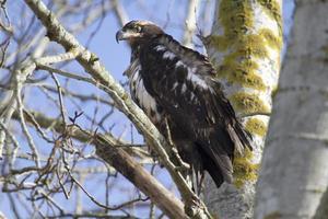 skallig örn i ett träd foto
