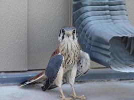 baby hawk foto