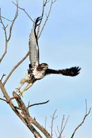 röd tailed hawk