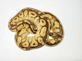 schlange python foto