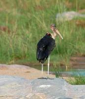 marabou stork; leptoptilos crumeniferus foto
