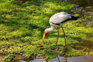 stork som äter nära vatten foto