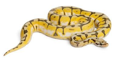 kvinnlig killerbee kunglig python, ett år gammal, vit bakgrund. foto