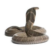 king cobra - ophiophagus hannah, giftig, vit bakgrund