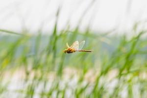 slända som flyger foto