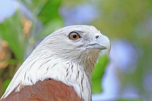 närbild brahminy drake, rödbackad havsörn, fågel i Thailand