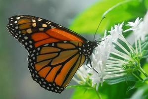 svart orange monark tiger fjäril insekt foto