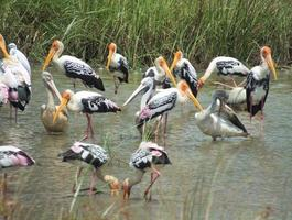 flock målad stork, pelikan matar intensivt foto