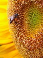 närbild honungbi på en solros foto