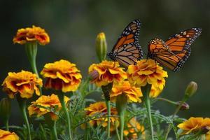 monarkfjäril och orange ringblommor foto