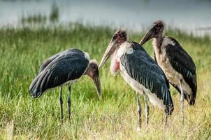 tre marabou storkar foto