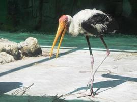 fågel indiska marabu foto