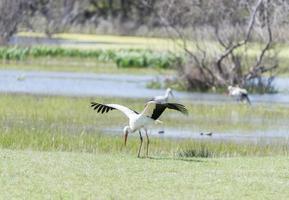 skriv stork, ciconia ciconia foto