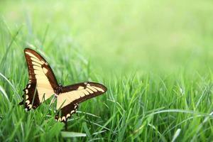 gul fjäril i bakgrund med grönt gräs foto