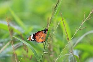 färgglad fjäril