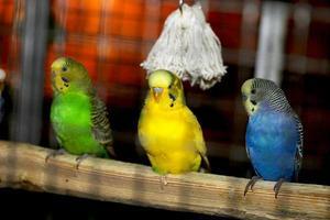 tre papegojor foto