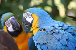 speglade papegojor foto