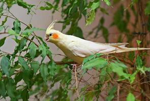 corella papegoja foto