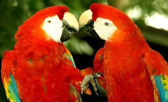 kyssande papegojor foto