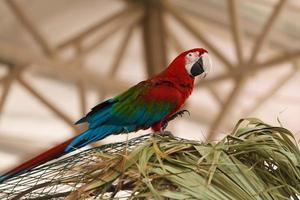papegoja ara foto